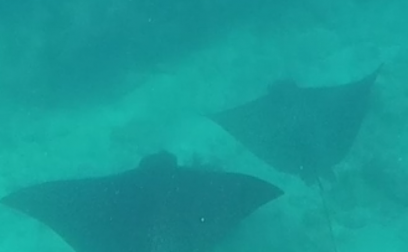 Spotted Eagle Rays At Looe Key Reef